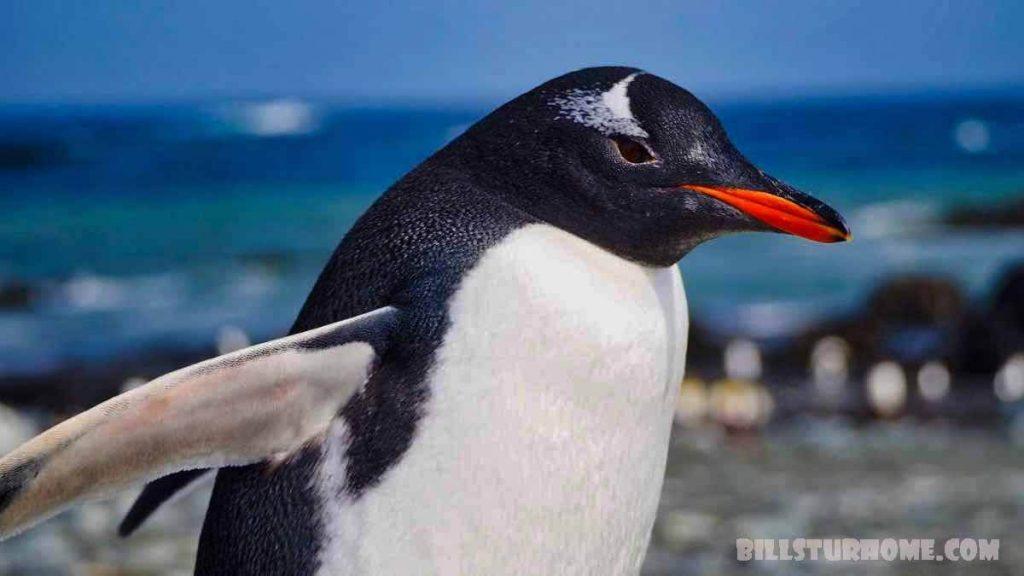 เพนกวิน Gentoo เป็นสี่สายพันธุ์ นักวิทยาศาสตร์กำลังเรียกร้องให้มีการสั่นคลอนอาณาจักรเพนกวินโดยกล่าวว่าเพนกวินเก็นทูเป็นสัตว์สี่ชนิด